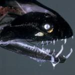 Deep Sea Loosejaw